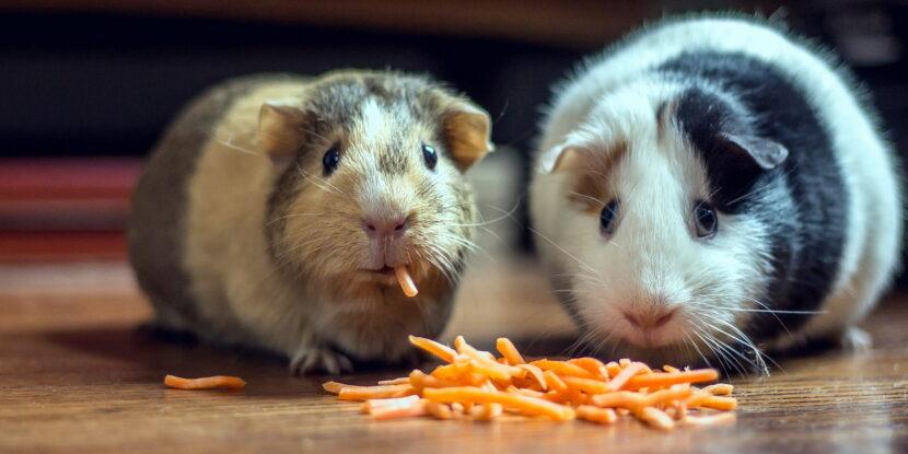 Две морски свинчета хрупат моркови и гледат учудено и дори стреснато